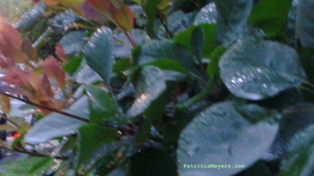 smoke bush in the rain